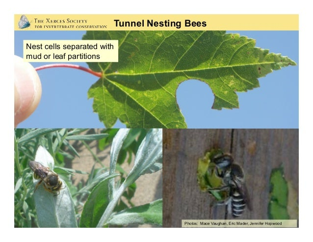 Hollow stem example: Silk cocoons with dormant bees inside Mud cap closure Larva Pupa Adult Pollen mass Egg Mud wall Cross...