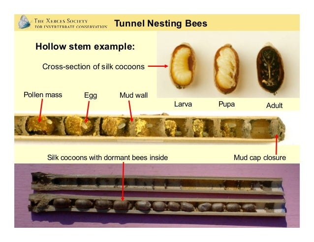 Photos: Matthew Shepherd; Mace Vaughan Nest Sites: Tunnel Nesting Bees