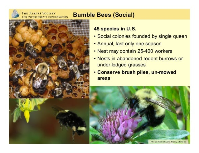 Life Cycle of a Bumble Bee Colony Winter: Hibernating queen Spring: Queen establishes nest and lays eggs Summer: Colony pe...