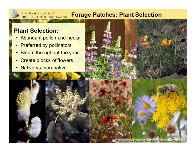 Forage Patches: Native Plants are Best Garden varieties can look pretty but may offer little or no nectar or pollen. Photo...