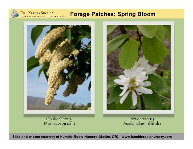 Slide and photos courtesy of Humble Roots Nursery (Mosier, OR). www.humblerootsnursery.com Forage Patches: Spring Bloom Or...