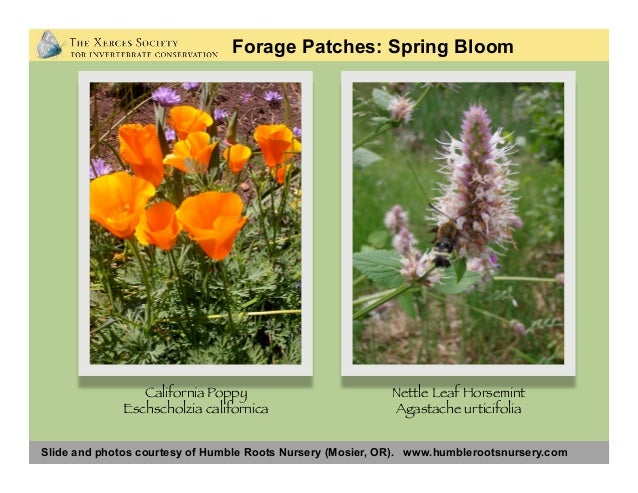 Slide and photos courtesy of Humble Roots Nursery (Mosier, OR). www.humblerootsnursery.com Forage Patches: Spring Bloom De...