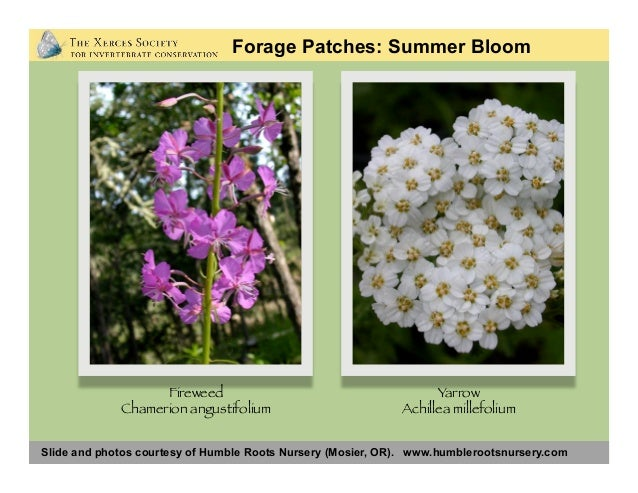 Slide and photos courtesy of Humble Roots Nursery (Mosier, OR). www.humblerootsnursery.com Forage Patches: Summer Bloom Bl...