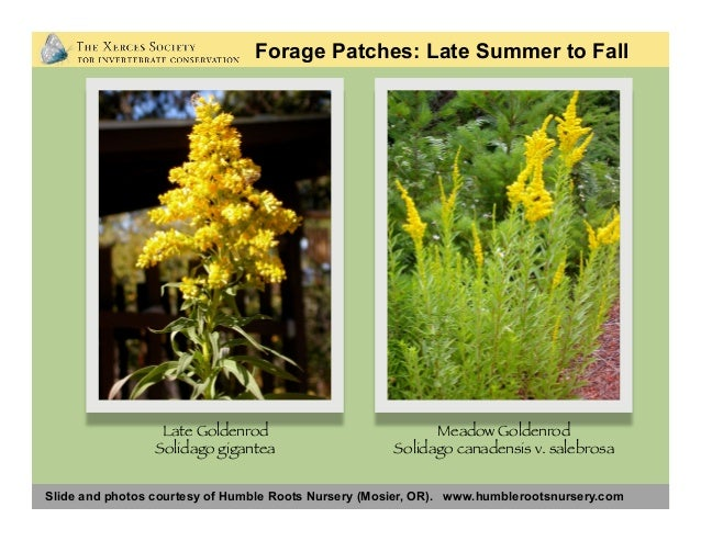 Slide and photos courtesy of Humble Roots Nursery (Mosier, OR). www.humblerootsnursery.com Rabbitbrush Ericameria sp. Nutt...