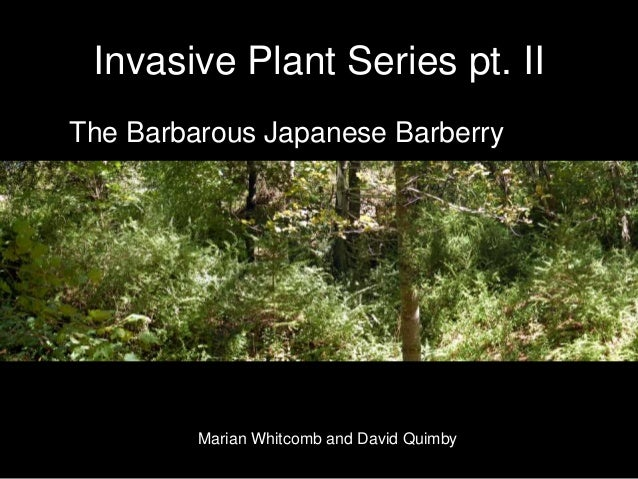 Invasive Plant Series pt. II The Barbarous Japanese Barberry Marian Whitcomb and David Quimby
