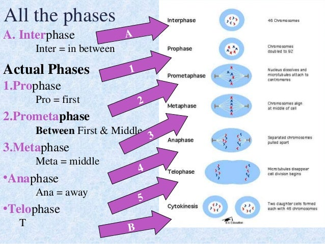 phases of mitosis