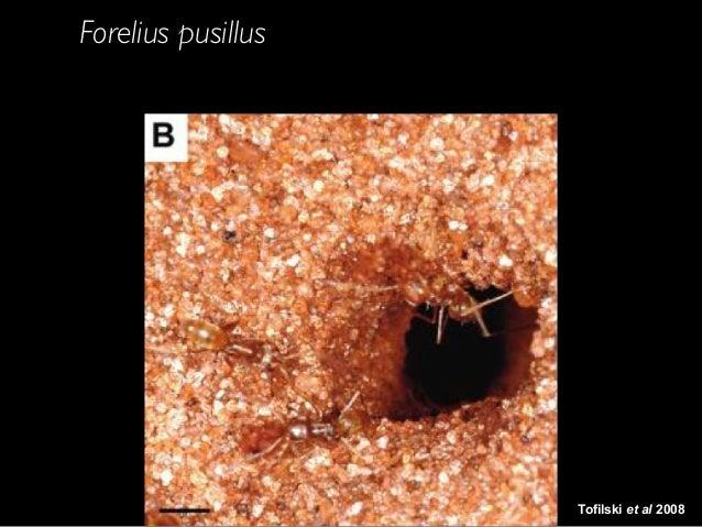 Tofilski et al 2008 Forelius pusillus hides the nest entrance at night