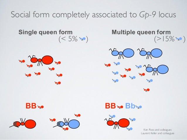 Bb unfertilised eggs haploid ♂ Gp-9 B Gp-9 b Gp-9 B Gp-9 b Gp-9 b Gp-9 B 38 B♂ & 38 b♂ RAD genotyping