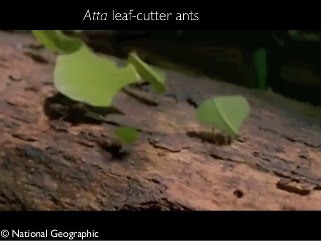 © National Geographic Atta leaf-cutter ants