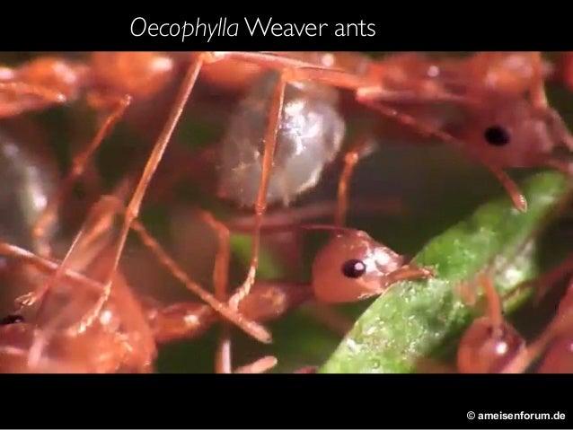 © ameisenforum.de Oecophylla Weaver ants
