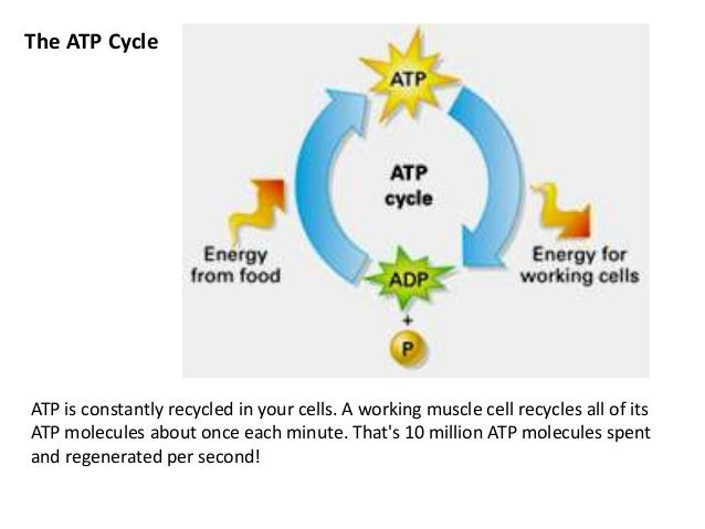 how are photosynthesis and cellular respiration related Up to now you have read about the abstract concepts of photosynthesis and cellular respiration will be observing the processes of photosynthesis and respiration by.
