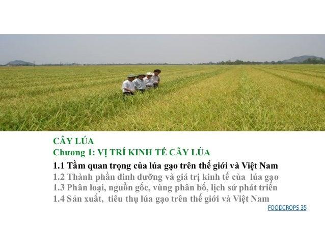 CÂY LÚA Chương 1: VỊ TRÍ KINH TẾ CÂY LÚA 1.1 Tầm quan trọng của lúa gạo trên thế giới và Việt Nam 1.2 Thành phần dinh dưỡn...