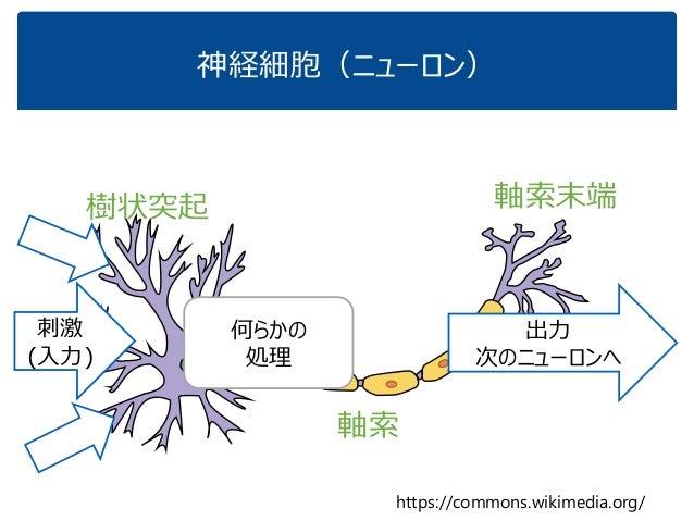 神経細胞(ニューロン) https://commons.wikimedia.org/ 樹状突起 軸索 軸索末端 出力 次のニューロンへ 刺激 (入力) 何らかの 処理