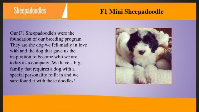 F1 Mini Sheepadoodles For Sale | Open Range Pups