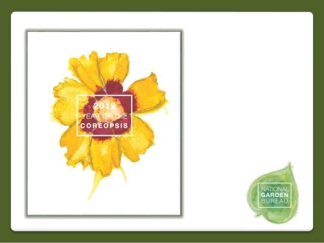 Coreopsis Grandiflora Golden Globe