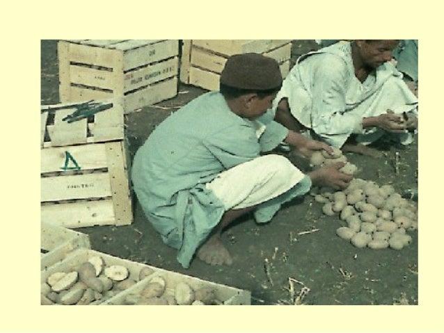 تسويق البطاطس و الزراعة 20 مارس 2001