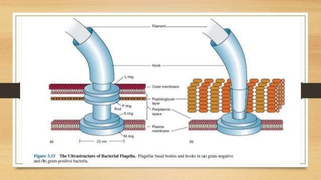 Flagella- Size, Shape, Arrangement
