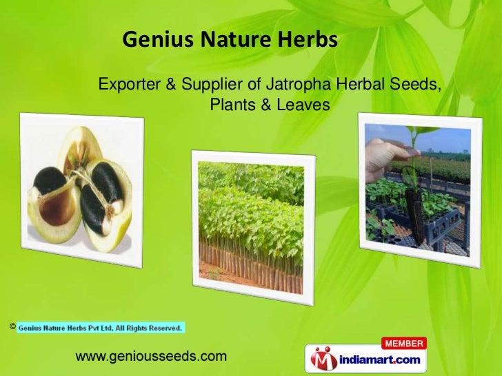Genius Nature HerbsExporter & Supplier of Jatropha Herbal Seeds,              Plants & Leaves
