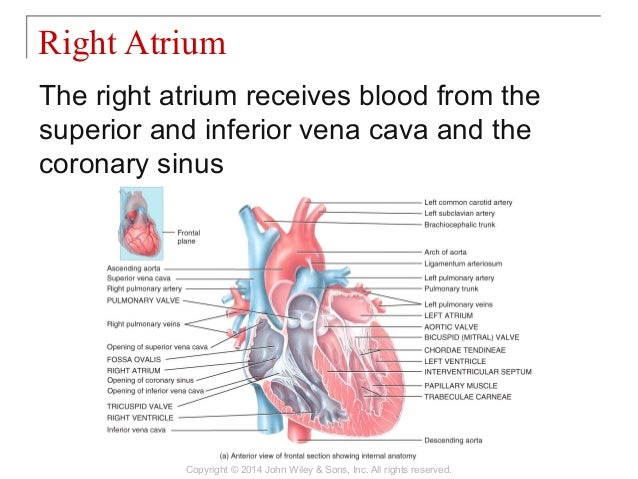 20 [chapter 20 the cardiovascular system the heart]