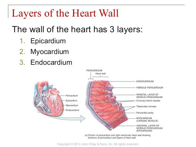 20 chapter 20 the cardiovascular system the heart 8 ccuart Choice Image