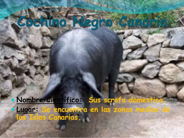 "English Translation of ""cochino""   Collins Spanish-English ..."