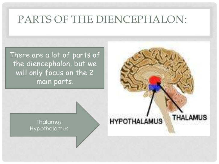 three parts of the diencephalon