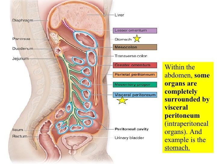 Principle Of Abdominal Anatomy likewise AlewifePeritoneumNorrisLakeNegus additionally Actinomycosis 13264967 also E005702 additionally 1333. on abdominal cavity