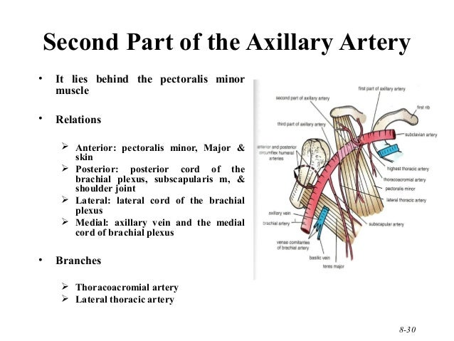 Pictures of Axillary Artery Parts - kidskunst.info