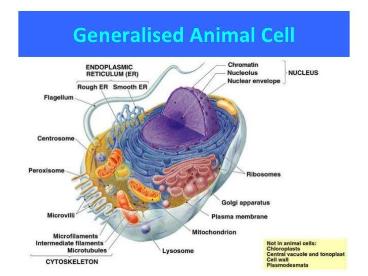 2 1 2 2 2 3 cells rh slideshare net Generalised Animal Cell Printable Plant Cell Diagram