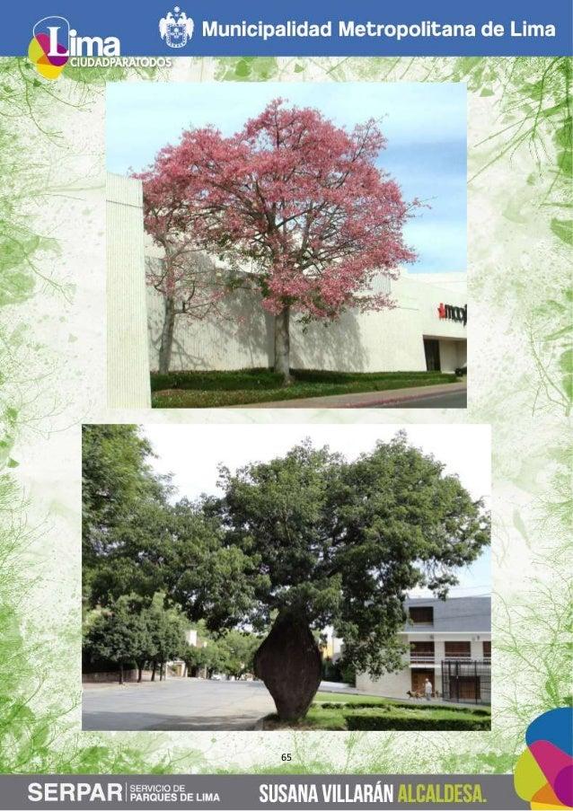 Guia de arboles en la ciudad de lima for Arboles de hoja perenne que crece rapido