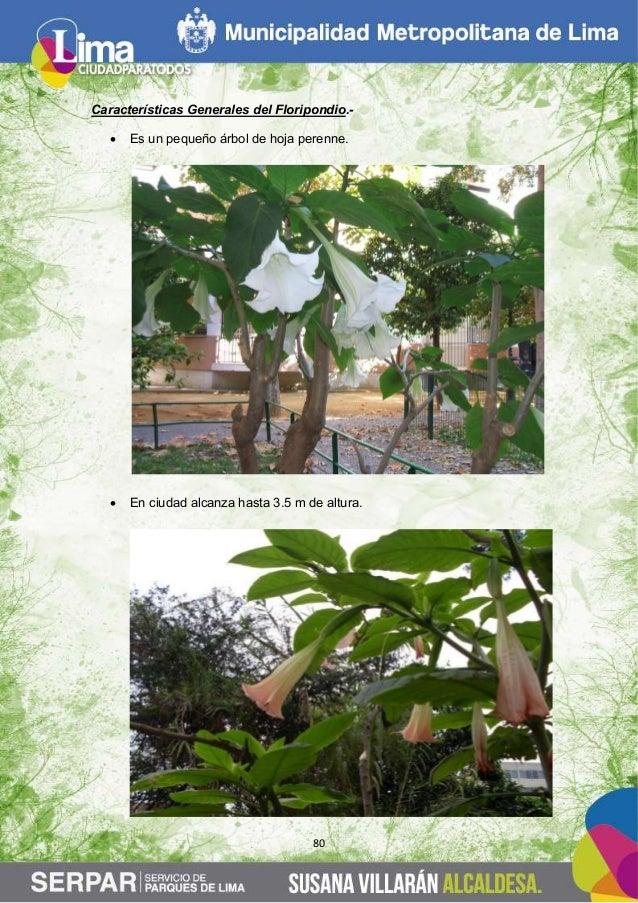 Guia de arboles en la ciudad de lima for Arboles de jardin de hoja perenne