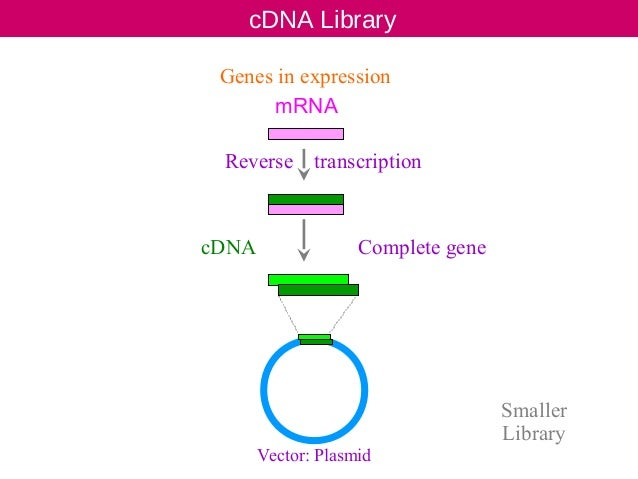 CDNA Library preparation. ppt for Jamil sir