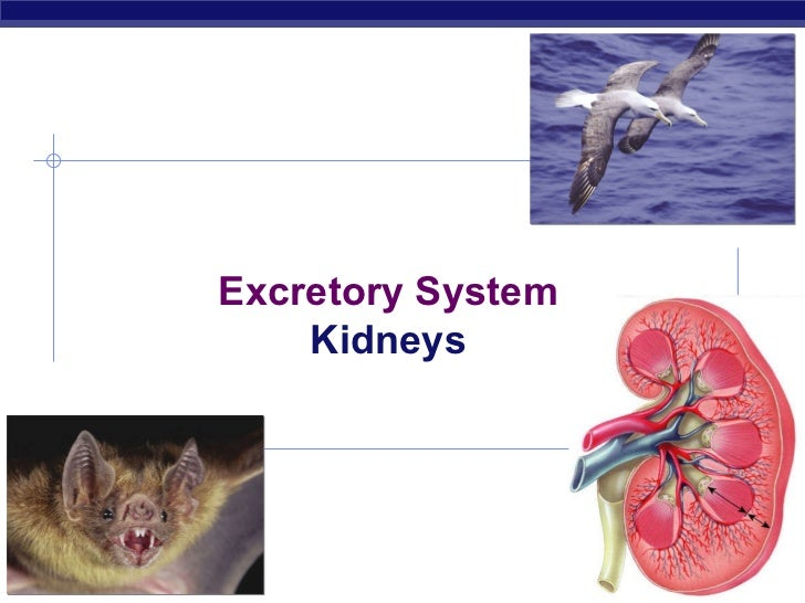 2008-2009 Excretory System Kidneys
