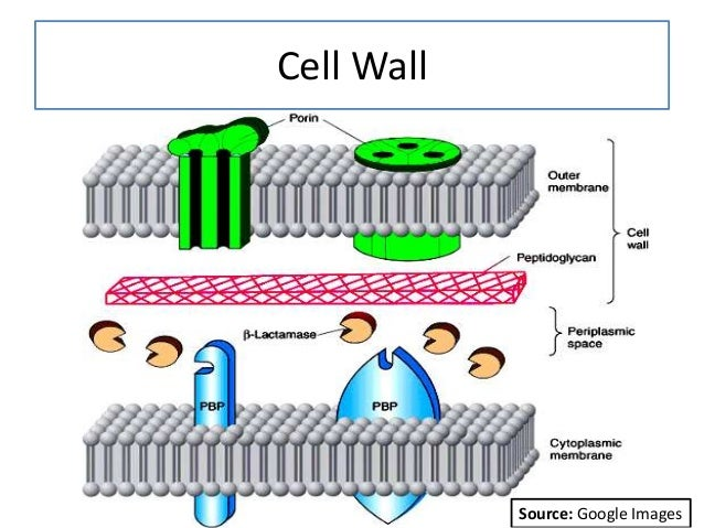 Cell Wall Source: Google Images