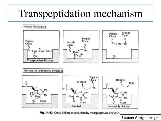 Transpeptidation mechanism Source: Google Images