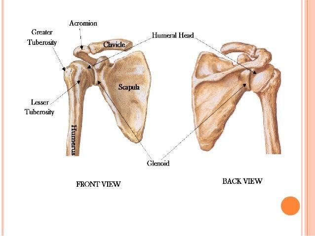 shoulder joint, Human body