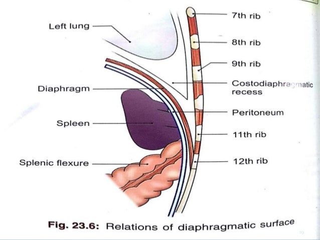 Spleen Relation With Ribs Spleen T Gross Anatomy And