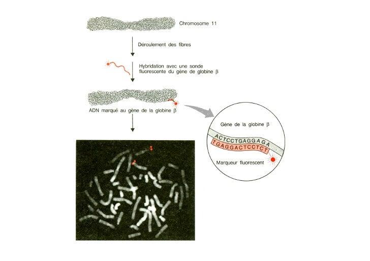 Transfert de gènes           chez les eucaryotes     Transfert de gènes dans des cellules en culture                      ...