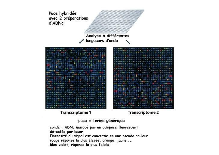 Analyse de l'ARNm, ou de la protéine, ou de l'effet sur la cellule