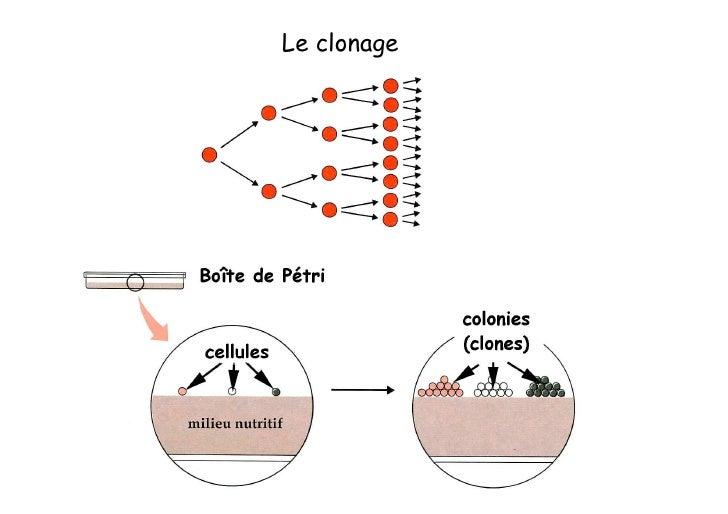 Transgènes  - gène d'intérêt, avec ou non ses propres séquences régulatrices  - gène rapporteur       CAT       lacZ     ...