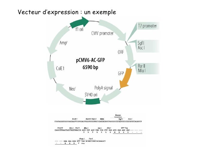 Expression transitoire  ou expression stable  du gène transfecté                          Expression du gène transfecté   ...