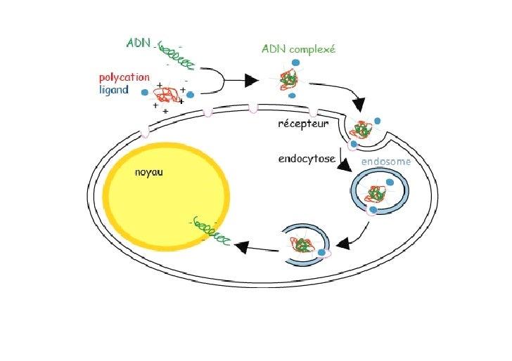 (SCID)-X1 Severe Combined ImmunoDeficiency liée à X  Avril 2000 Hôpital Necker