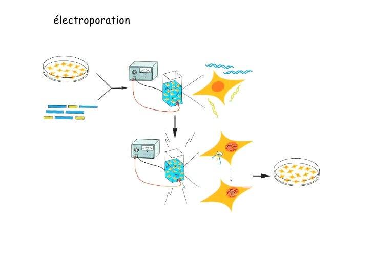 Transgenèse                =       Transfert d'un gène dans un organisme pluricellulaire