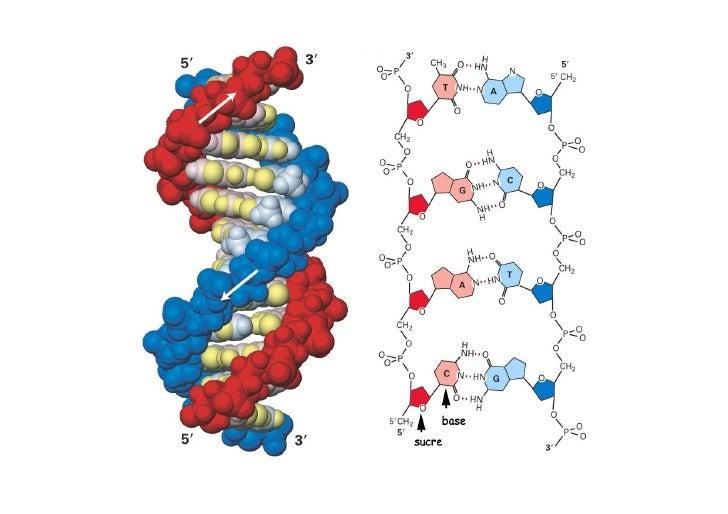 Comment fonctionne un gène ?