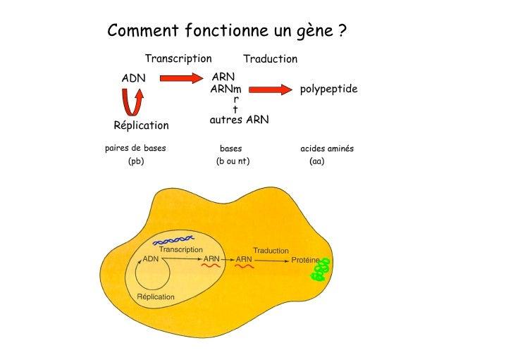 Comment manipuler l'ADN et les gènes ?  Effet attendu au niveau du produit du gène dans       la cellule       l'organisme...
