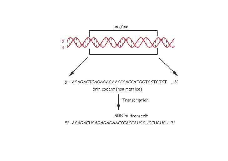 Couper un ADN        par une enzyme de restriction   5' ATCGCGTAACGTATTCGAATTCTTCAGGCTAAGCTA 3' 3' TAGCGCATTGCATAAGCTTAAGA...