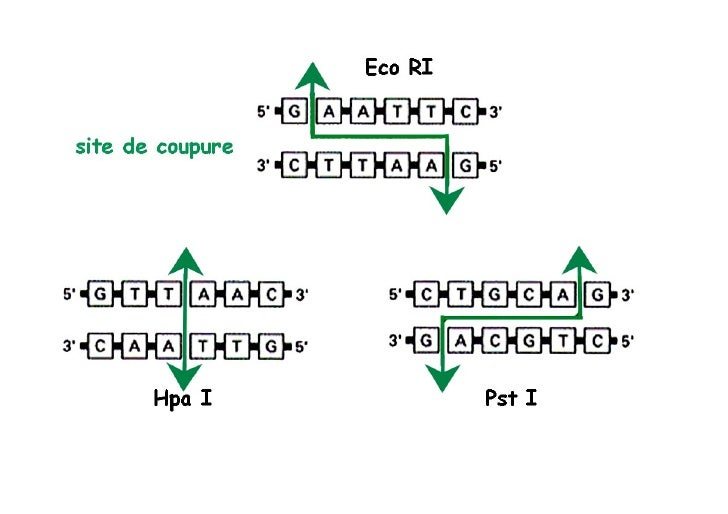 Hybridation moléculaire