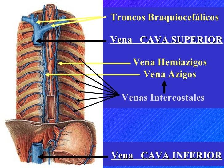vasos y nervios paredes torax y abdomen