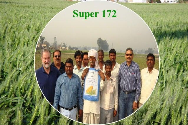 Several resistant varieties developed (2009-12)                 Baghlan09                 BL3063                 Koshan09 ...