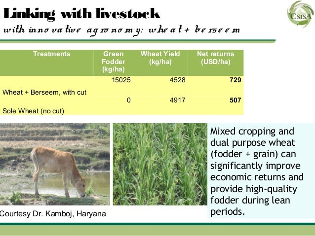 Linking with livestockwith inno va tive a g ro no m y : whe a t + be rs e e m         Treatments          Green        Whe...